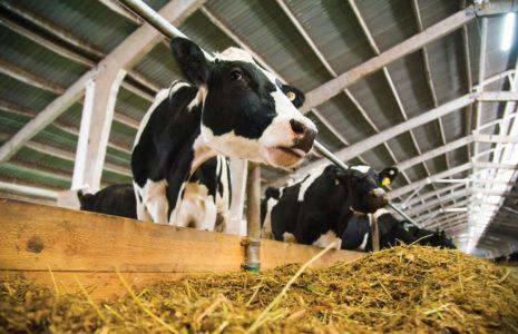 Inséminateur bovin: un métier des plus inusités